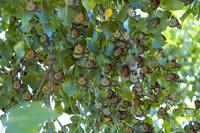 butterflies as leaves