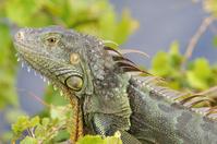 Iguana In Sun