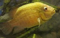 Yellow Fish (Sinaloan Cichlid)