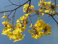Yellow Ipe