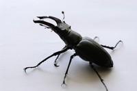 Stag beetle 1