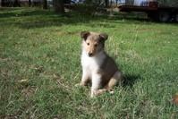 Collie puppy 2