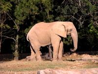 African elephant in Brazil