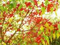 Cherry Tree 3