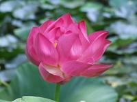 Pink Indian Lotus Flower