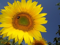 Sunflowers in the sunny sun 1