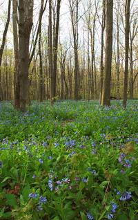 Spring Virginia Bluebells 6