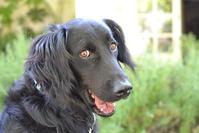 Black retriever dog 1