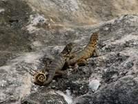 Cuban curly-tailed lizard 1