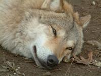 idling wolf 2