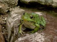 Alert Frog