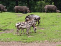Rhinos and zebras