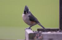 Song Birds 7