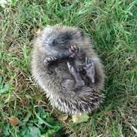 Baby Hedgehog2