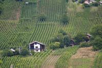 Vineyard stock