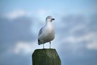 King of Seagulls