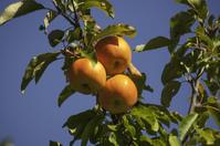 Fuji Apples in the Tree