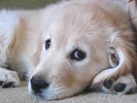 Golden Retriever Puppy 3