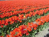 Yellow Tulip Among Red
