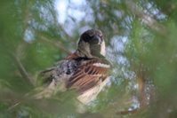 Hidden Sparrow