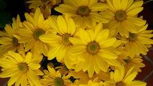 Yellow Chrysanthium 2