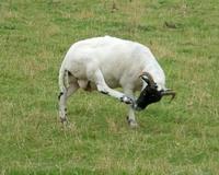 Nose-scratching ram