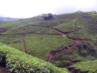 Tea gardens 11