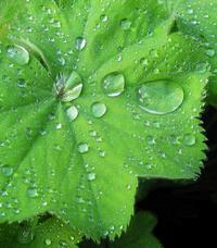Waterdrops Lady's mantle 2