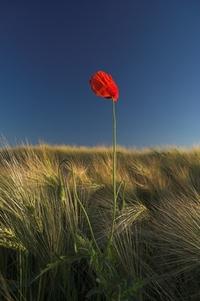 Poppy in a Field of Barley