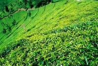 Teahills on Jawa