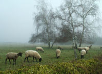Sheeps in Fog