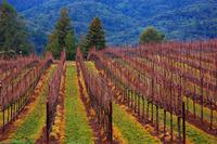 Late Winter Vineyard