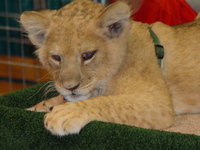 lion cub 4