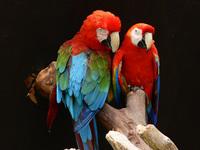 a pair of parakeet