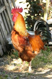 rooster, chanticleer