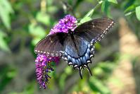 Butterfly Blue/Black