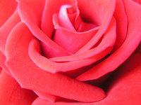 Red roses closeup 1