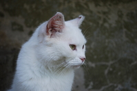Rozy my white cat 2