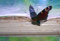 Butterfly end