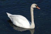 Swan_1_27.04.2005