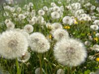 Dandelion Army