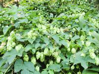 blooming-hops-plant-2-1333303.jpg