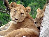 lazy lions 1