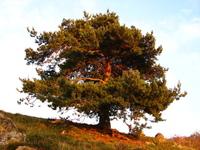Tree IV 7