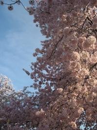 Cherry Blommom Festival 6