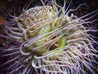 Sea Anemone 04