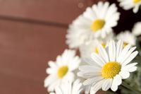 Shrub daisy