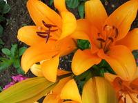 Orange Lily 5