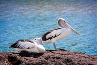 Australian Pelican 3