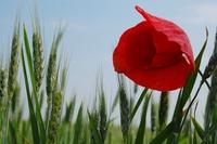 Corn poppy 1